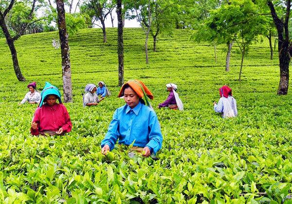 Tea garden software - Teapac